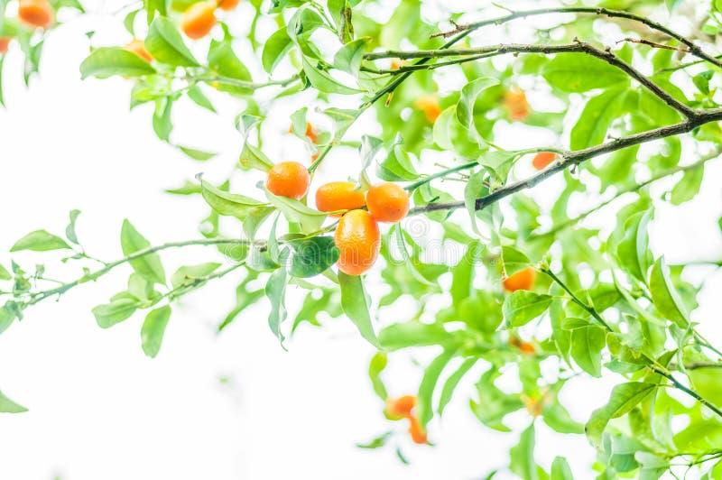 Ramo de uma árvore de Kumquat fotografia de stock