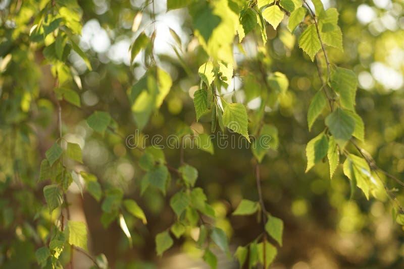 Ramo de uma ?rvore de vidoeiro nova no por do sol fotos de stock
