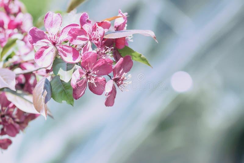 Ramo de uma cereja selvagem de florescência, cereja, ameixa, close-up da maçã, fundo natural cênico, dia ensolarado, conceito da  fotografia de stock royalty free