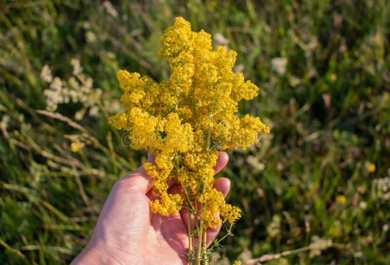 Ramo de wildflowers amarillos a disposición para el fondo fotos de archivo libres de regalías