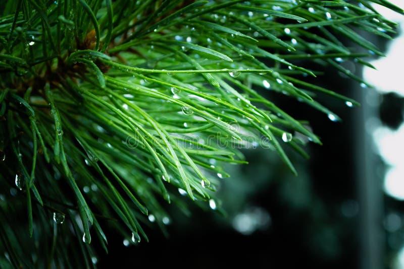 Ramo degli aghi nelle gocce di pioggia fotografie stock libere da diritti