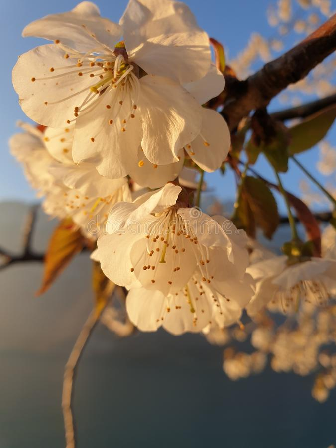 Ramo dei fiori di ciliegia nell'ora dorata sotto un cielo blu immagine stock