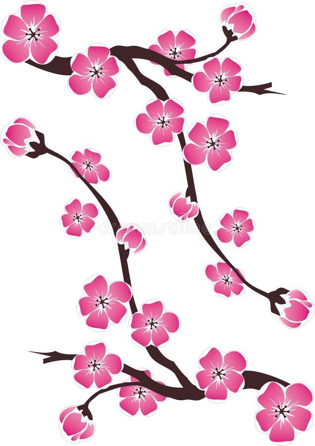 Ramo dei fiori di ciliegia su fondo bianco immagine stock