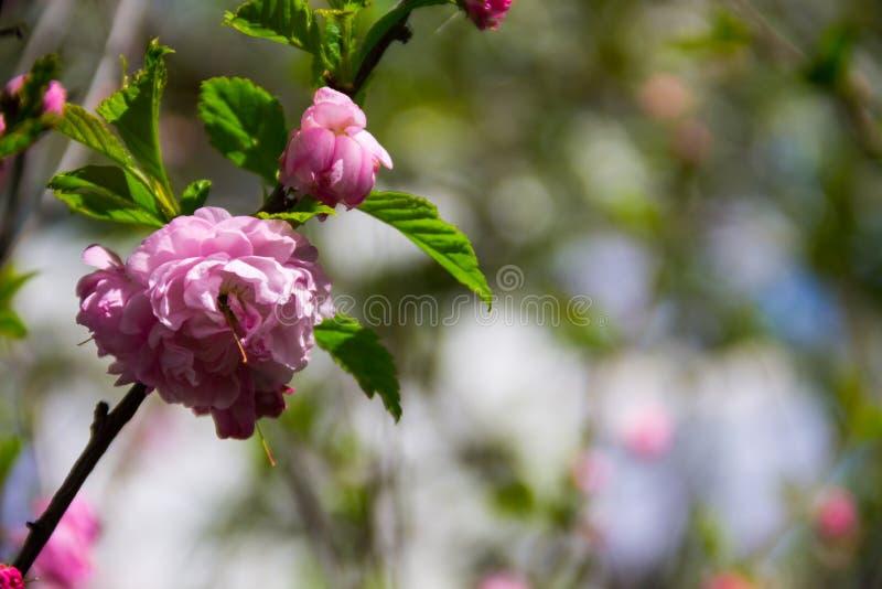 Ramo dei fiori di ulmifolia di Louiseania di triloba del Prunus Ramoscello della mandorla trilobate con il bello primo piano rosa immagini stock libere da diritti
