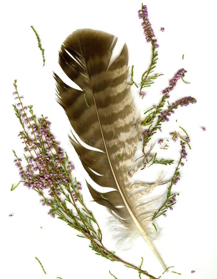 Ramo del brezo y penacho del halcón foto de archivo libre de regalías
