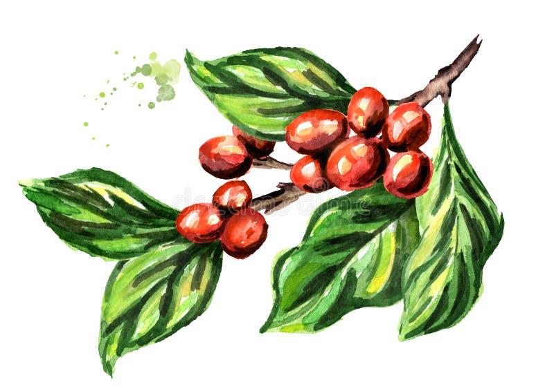 Ramo del caffè con i fagioli e le foglie verdi Illustrazione disegnata a mano dell'acquerello isolata su fondo bianco illustrazione vettoriale