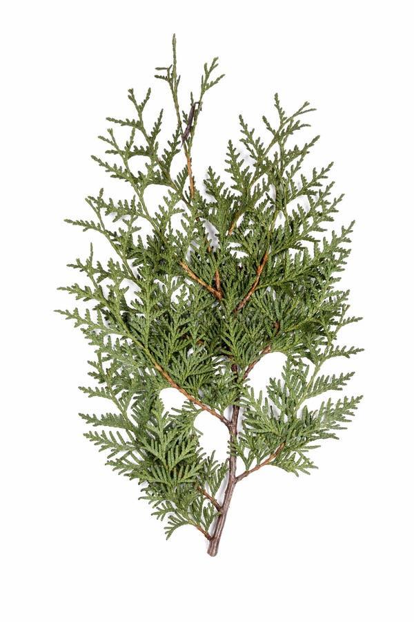Ramo del cedro bianco di thuja occidentalis isolato fotografia stock
