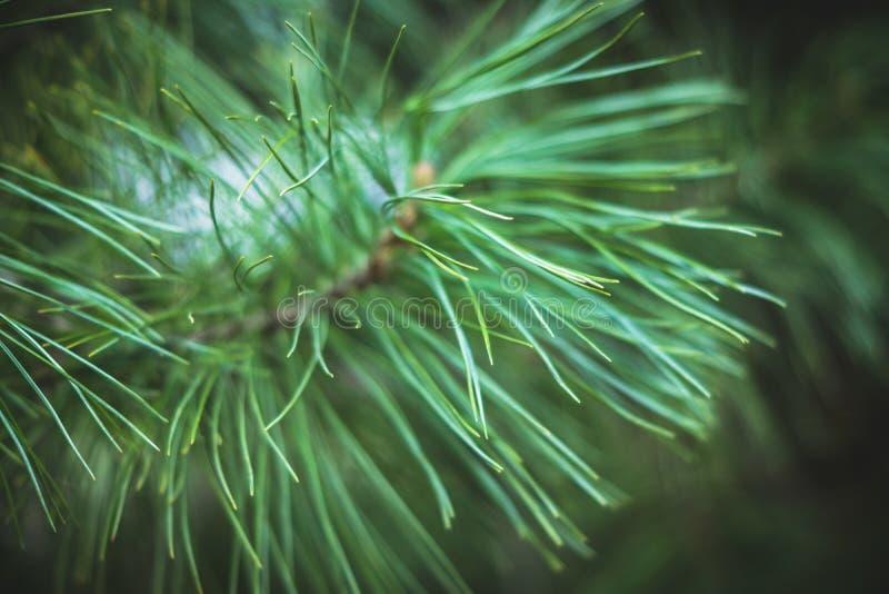 Ramo del cedro nella foresta fotografie stock