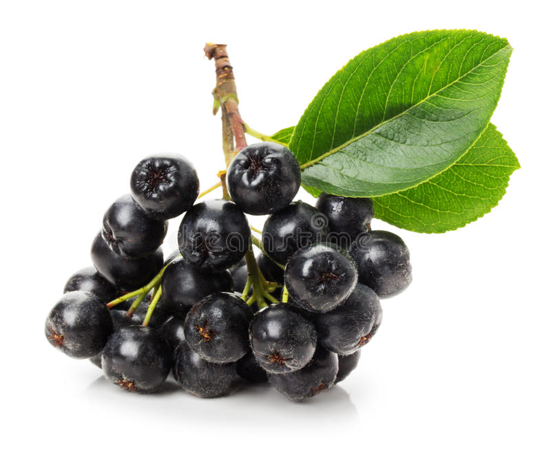 Ramo del chokeberry nero (aronia melanocarpa) isolato sul fotografia stock