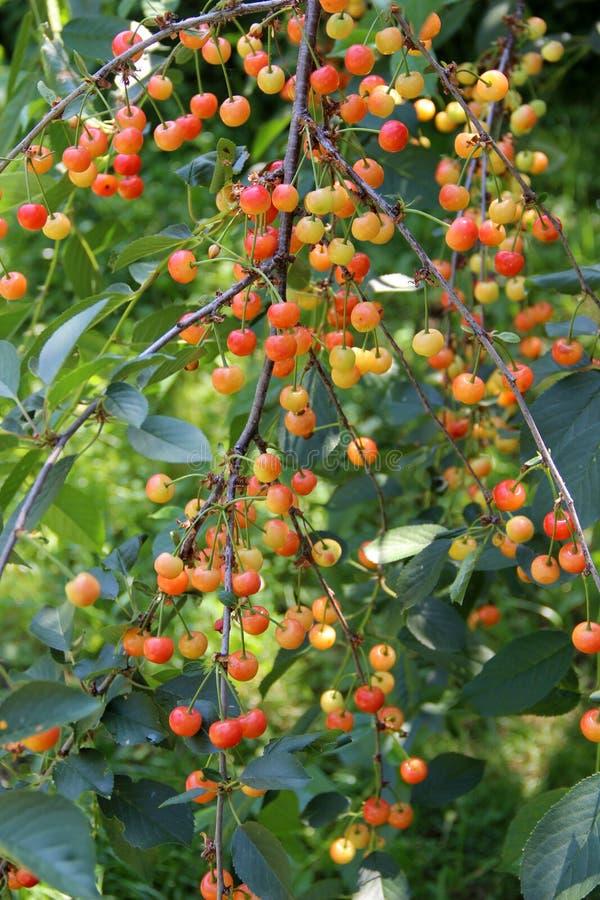 Ramo del ciliegio con il grande numero delle bacche non mature fotografia stock libera da diritti