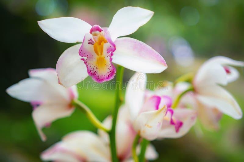 Ramo del colpo del primo piano delle orchidee macchiate rosa sulla natura verde del bokeh immagine stock libera da diritti