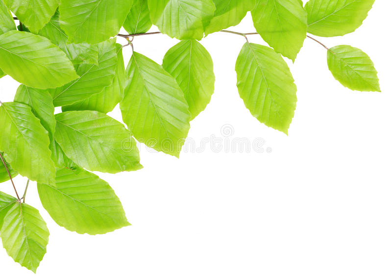 Ramo del faggio della primavera con le foglie verdi immagine stock libera da diritti