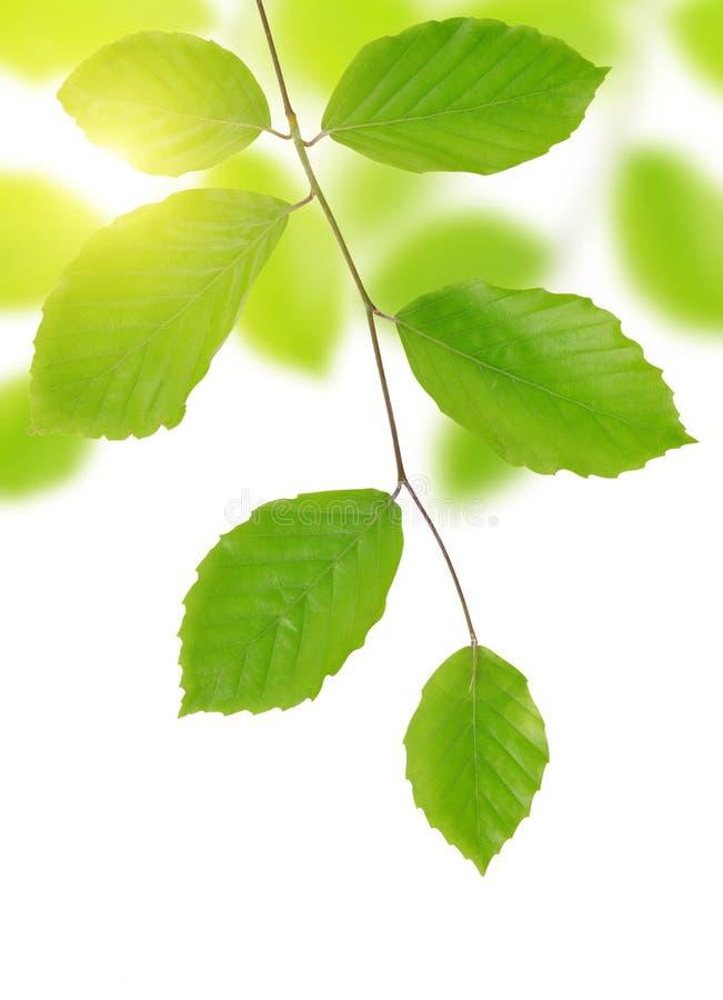Ramo del faggio della primavera con le foglie verdi immagini stock