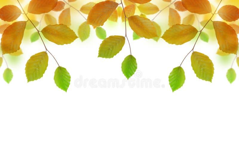Ramo del faggio di autunno immagine stock