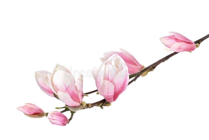Ramo del fiore della magnolia fotografia stock libera da diritti