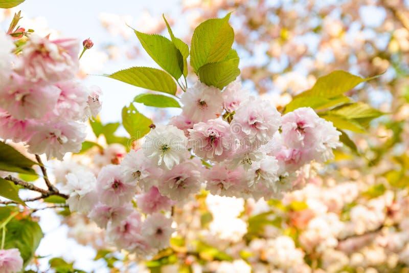 Ramo del fiore di ciliegia di Sakura nei raggi di tramonto immagine stock
