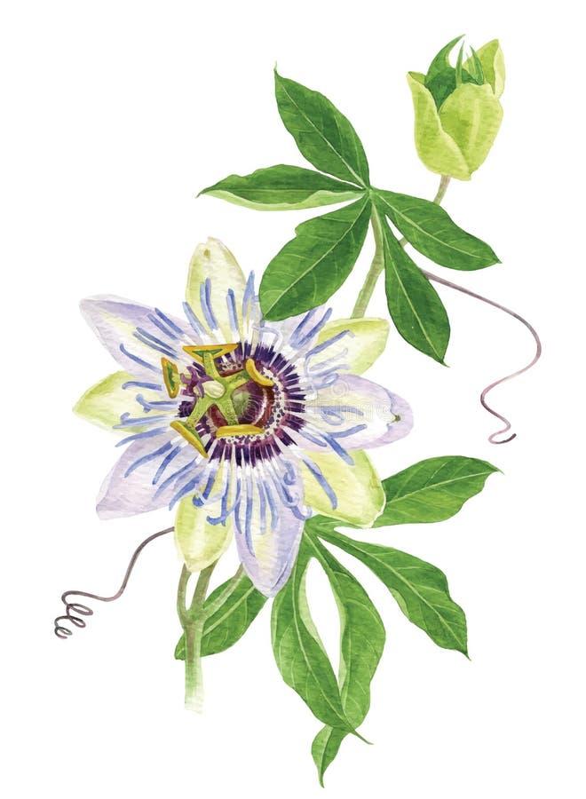 Ramo del fiore di passione dell'acquerello illustrazione di stock