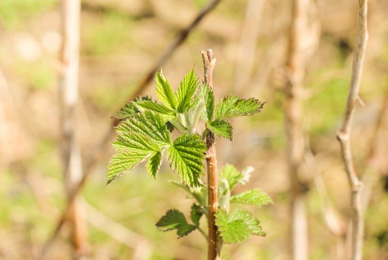Ramo del lampone con le foglie verdi immagini stock