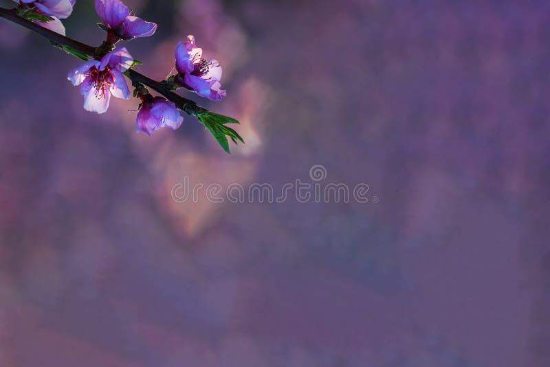 Ramo del pesco con i fiori bianchi molli e di rosa su uno sfondo naturale nei toni rosa e porpora Bokeh fotografia stock