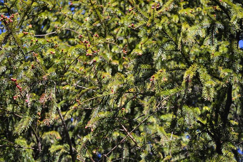 Ramo del pino con i coni contro il cielo blu fotografia stock