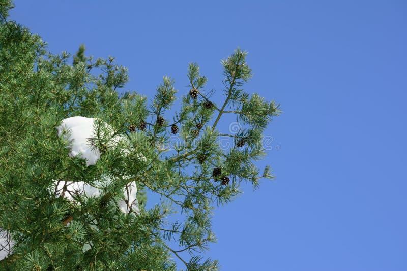 Ramo del pino con i coni e neve contro lo sfondo del cielo blu fotografia stock
