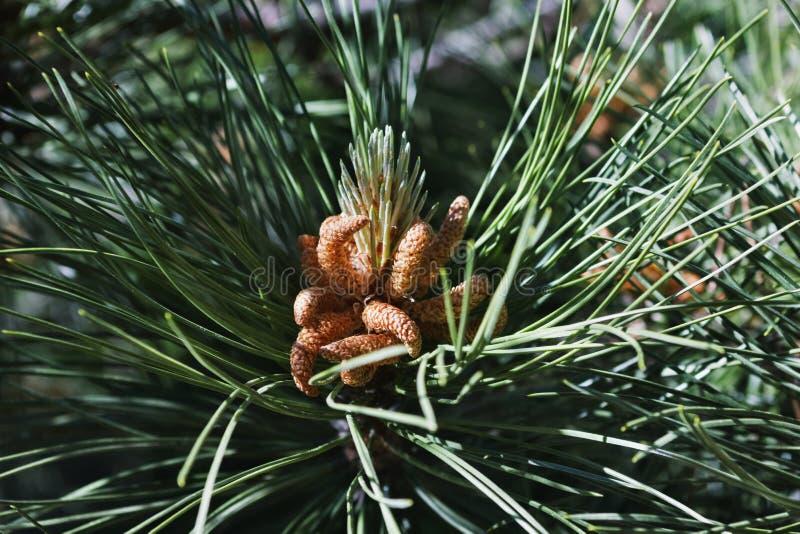 Ramo del pino con i tubi di polline fotografie stock