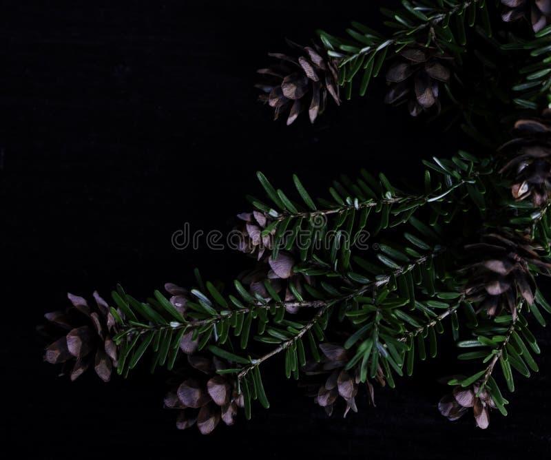 Ramo del pino con le pigne su fondo nero immagini stock