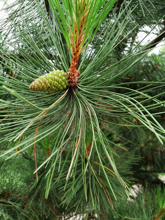 Ramo del pino e cono verde immagini stock libere da diritti