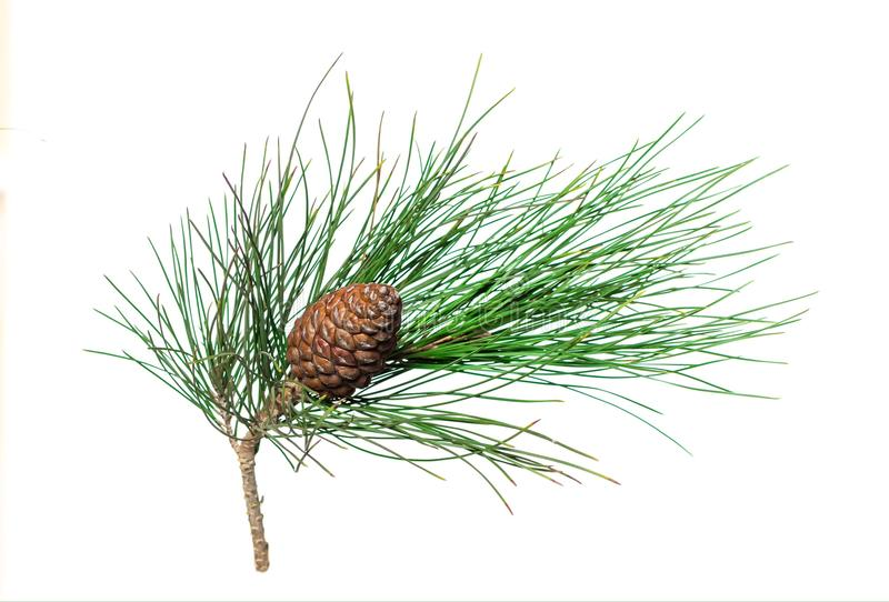Ramo del pino siberiano con il cono fotografia stock libera da diritti