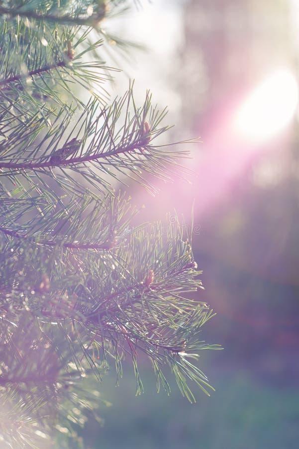 Ramo del pino sulla luce di alba immagini stock
