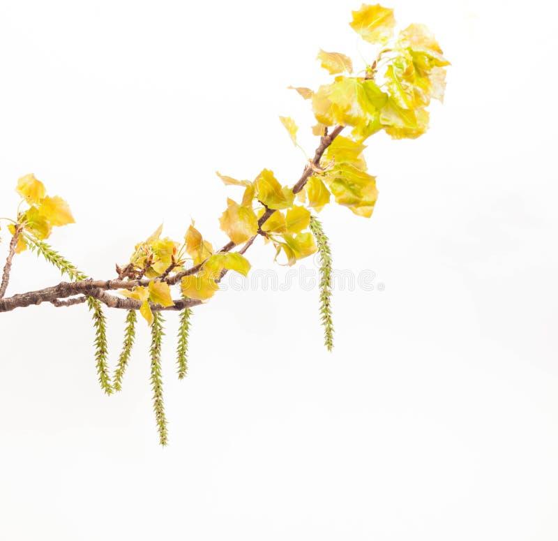 Ramo del pioppo bianco della primavera fotografie stock