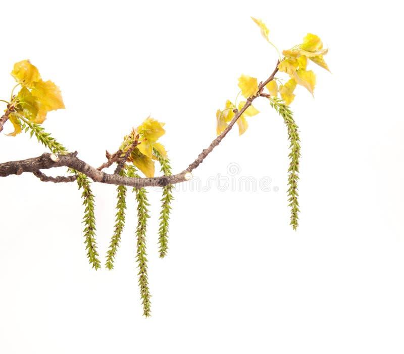 Ramo del pioppo bianco della primavera immagini stock