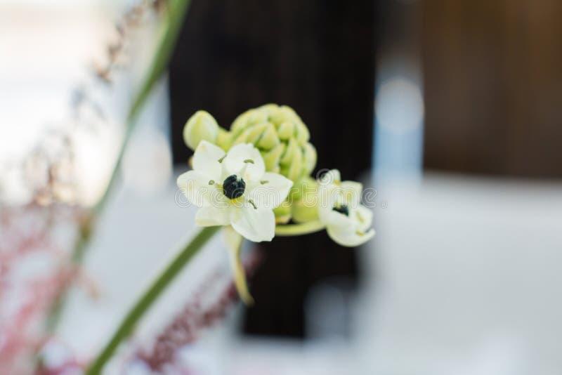 Ramo del primo piano del fiore fresco del ornithogalum con fondo vago Decorazione di evento con i fiori freschi fotografia stock libera da diritti