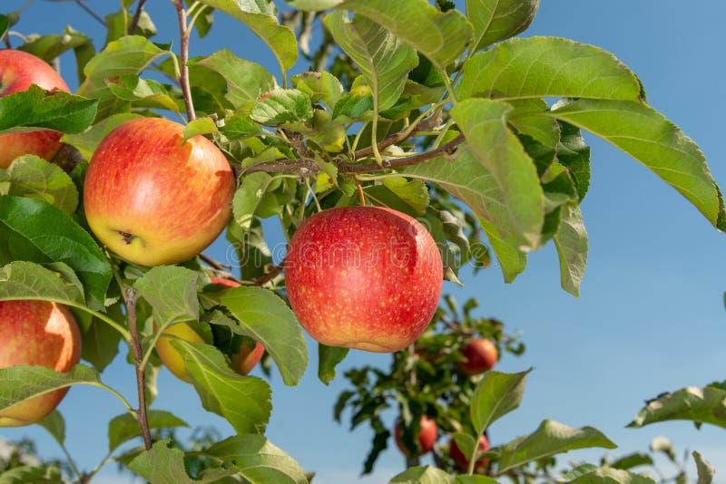 Ramo del primo piano rosso maturo delle mele Il concetto di riuscito giardinaggio organico fotografie stock