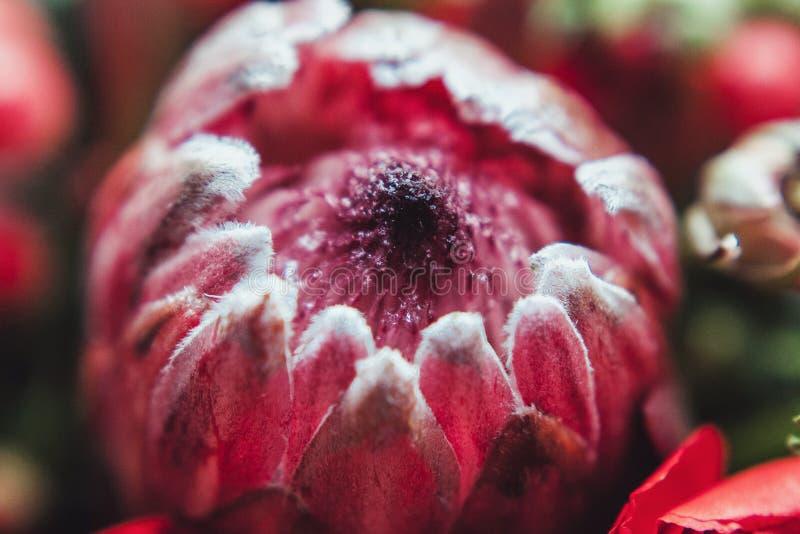 Ramo del Protea y de los ranúnculos en un fondo gris blured fotografía de archivo libre de regalías