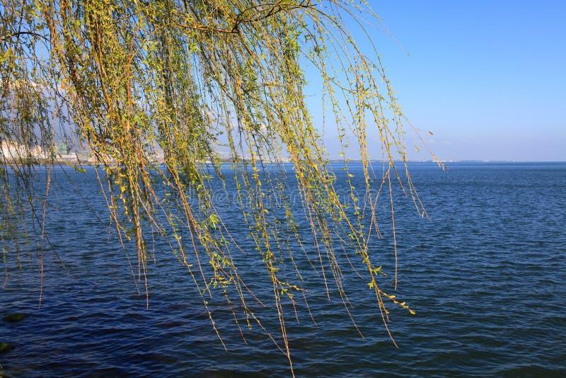 Ramo del salice e del lago immagini stock