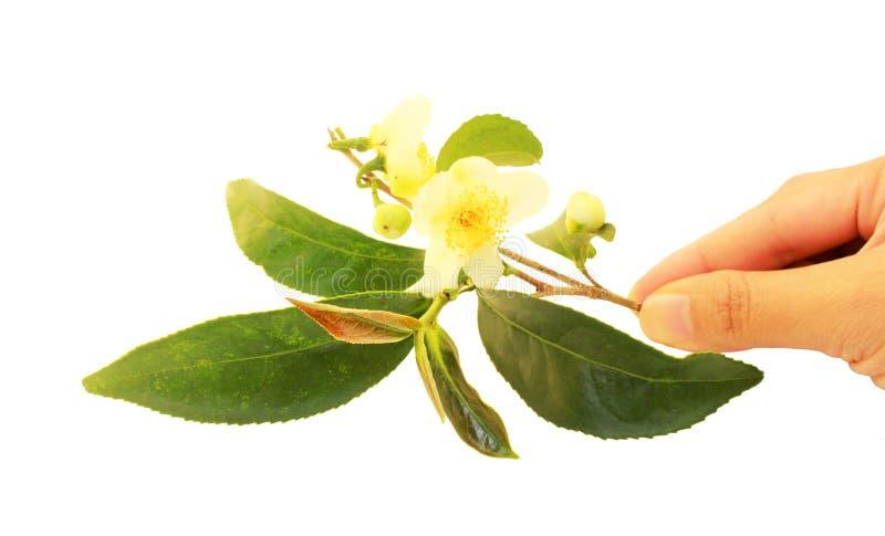 Ramo del tè con i fiori a disposizione immagini stock libere da diritti