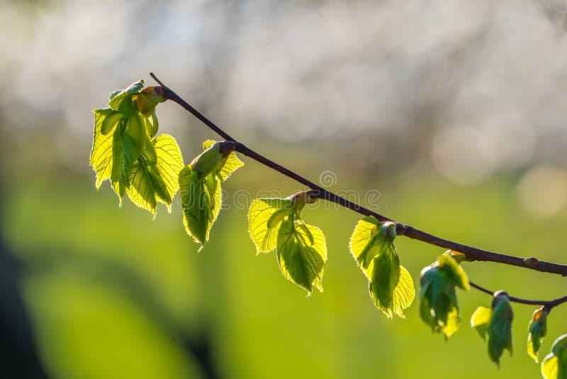 Ramo del tiglio, tilia cordata, con le nuovi foglie e germoglio in primavera fotografia stock libera da diritti