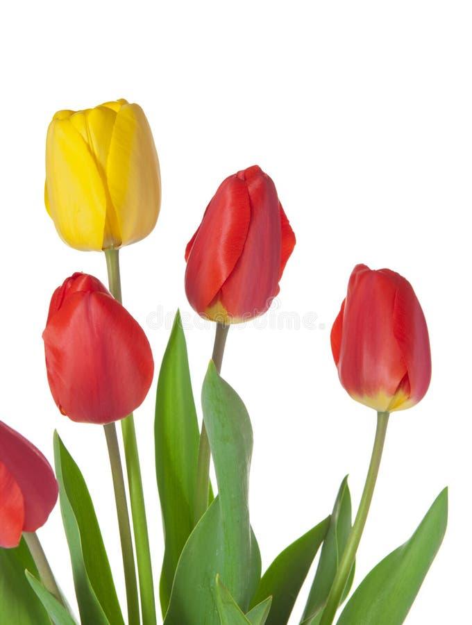 Ramo del tulipán fotografía de archivo libre de regalías