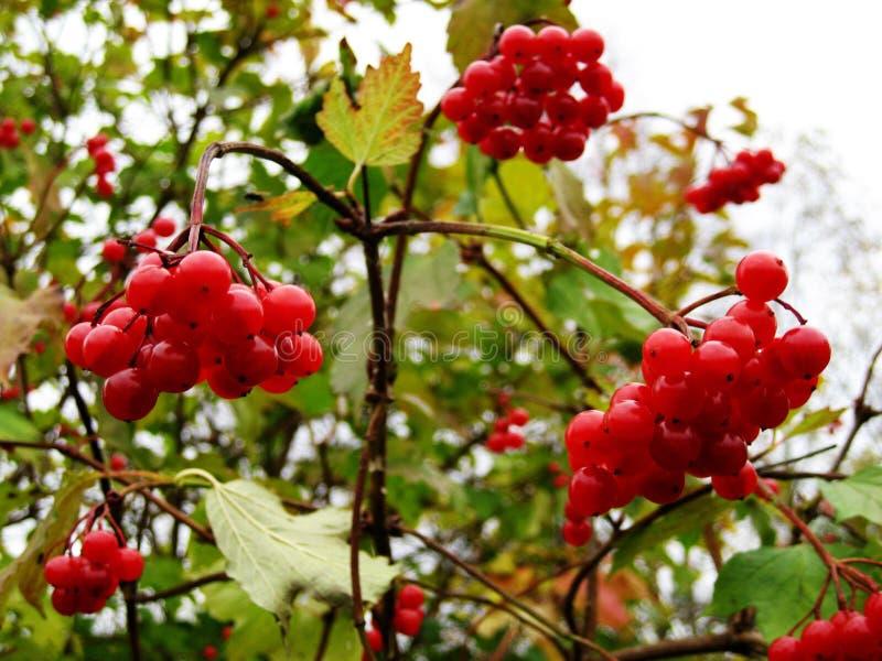 Ramo del viburno rosso nel giardino immagini stock libere da diritti