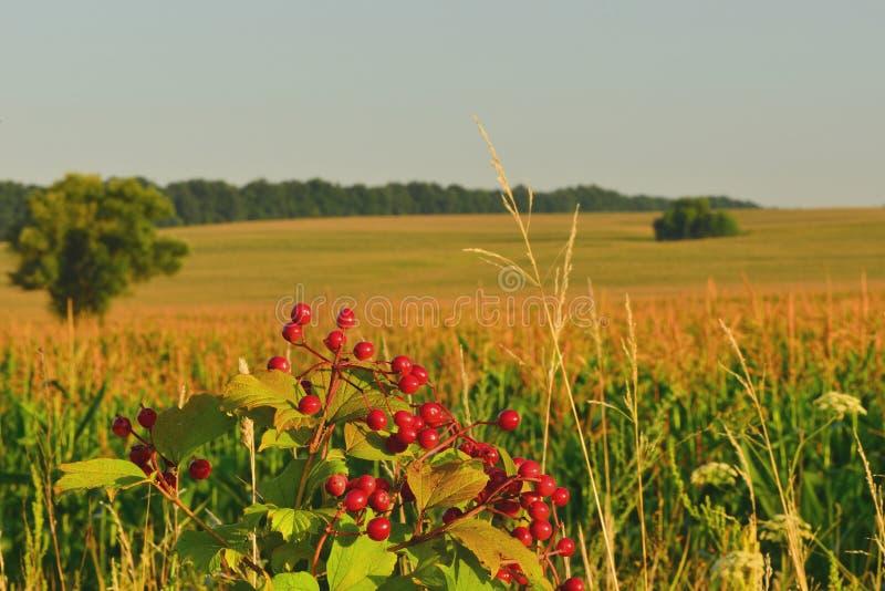 Ramo del viburno su un fondo di un campo di grano fotografia stock libera da diritti