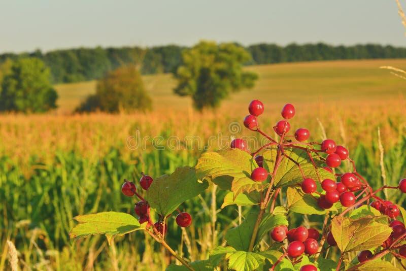 Ramo del viburno su un fondo di un campo di grano fotografia stock