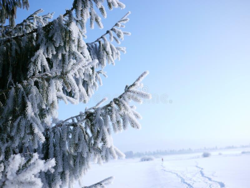 Ramo dell'abete con neve e percorso nei precedenti fotografia stock libera da diritti