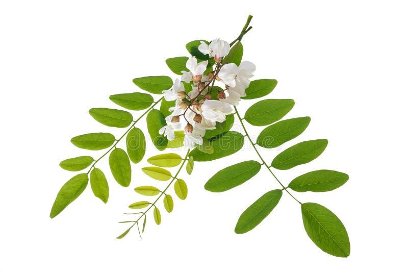 Ramo dell'acacia con i fiori fotografia stock