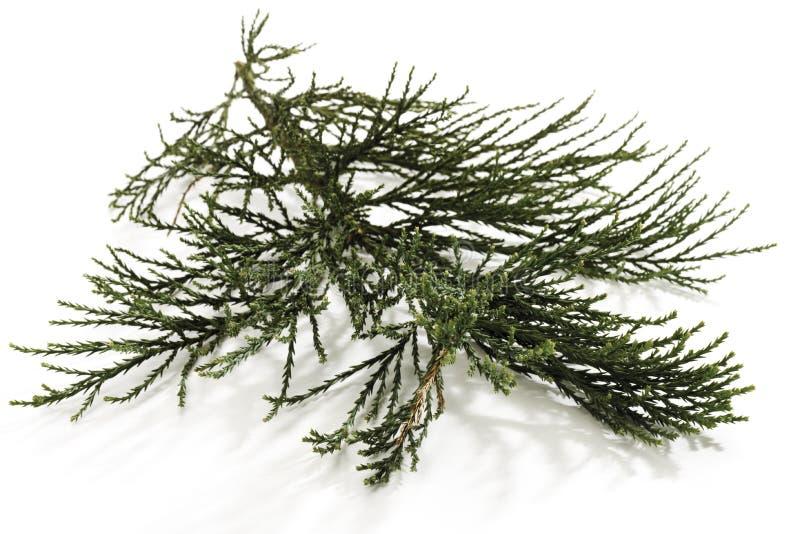 Ramo dell'albero della sequoia (Sequoioideae), primo piano immagine stock libera da diritti