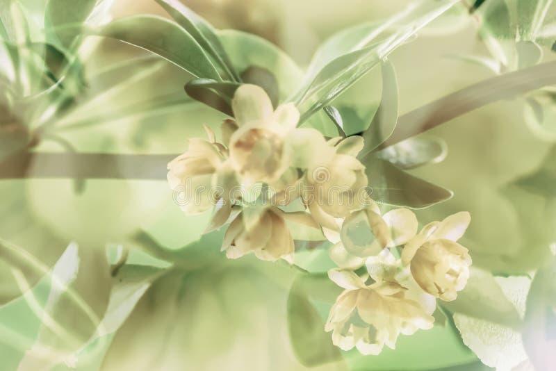 Ramo dell'albero di fioritura della molla, fiori gialli L'annata ha disegnato il colore L'estratto vago ha tonificato il fondo immagini stock libere da diritti