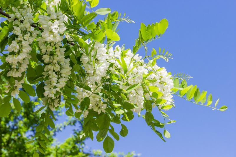 Ramo dell'albero di locusta di fioritura contro del cielo fotografie stock