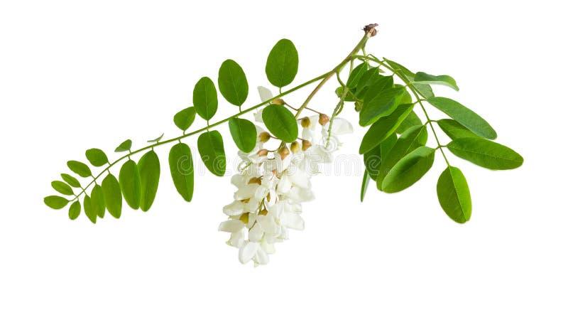 Ramo dell'albero di locusta nera di fioritura fotografie stock