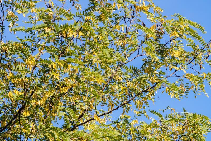 Ramo dell'albero di locusta nera sotto cielo blu, fondo fotografia stock libera da diritti