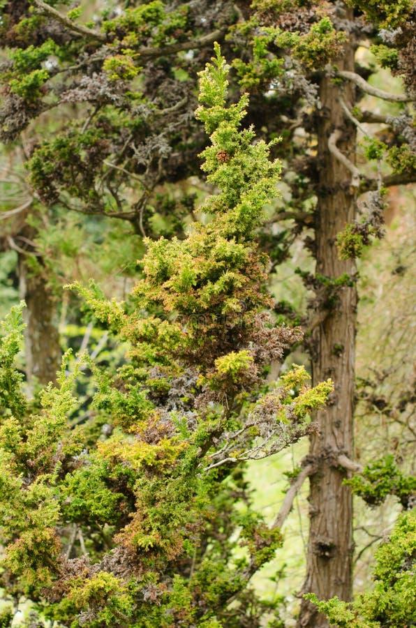 Ramo dell'albero di Natale con gli aghi ed i piccoli coni di estate fotografia stock